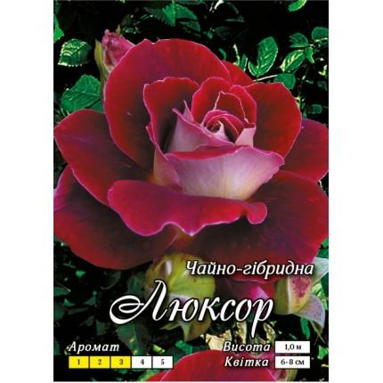 Троянда ч/г Люксор (контейнер)