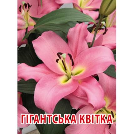 Лилия с гигантским цветком Giordana 12/14