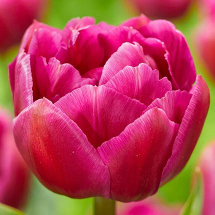 Тюльпан махровий Respectable 12/+