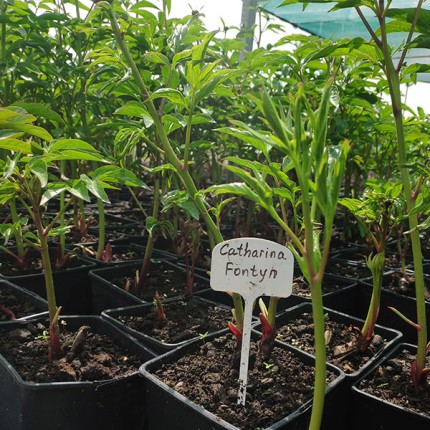 Пион травянистый Catharina Fontyn (контейнер 2.5л)