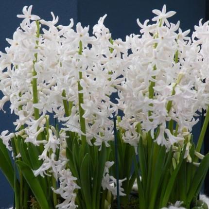 Гіацинт багатоквітковий White Festival 16/17