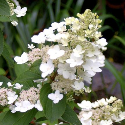 Гортензия Tardiva (метельчатая)