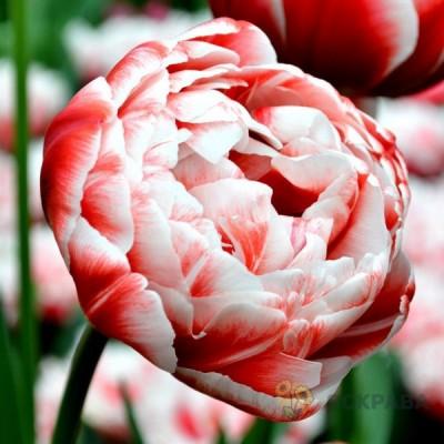 Тюльпан Махровый + Многоцветковый Drumline 10/11 - оптом
