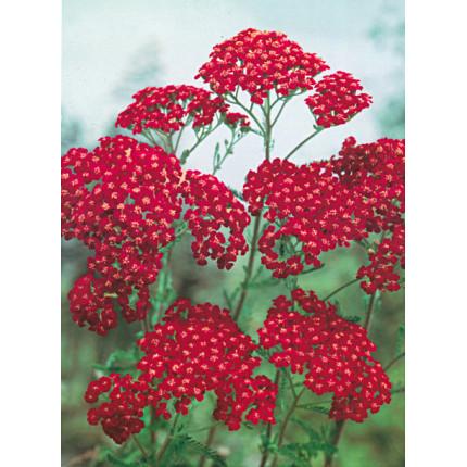 Тысячелистник Millefolium Red Velvet