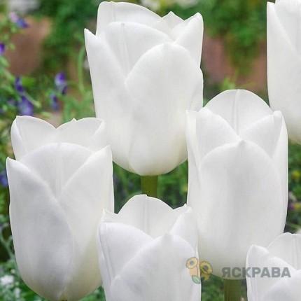 Тюльпан Триумф Royal Virgin 10/11