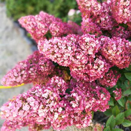 Гортензия Sundae Fraise (метельчатая)