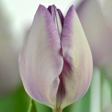 Тюльпан триумф Jacuzzi 12+