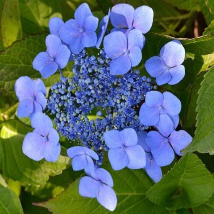 Гортензія Bluebird (пильчата)