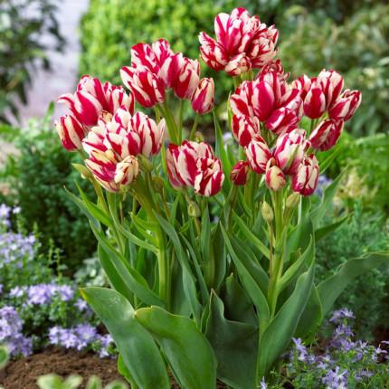 Тюльпан Многоцветковый Frisby 10/11