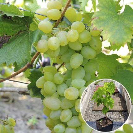 Виноград Монарх (контейнер)