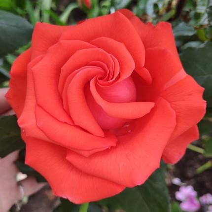 Троянда ч/г Корвет клас А