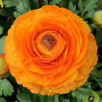 Лютики Orange 6/7 - оптом