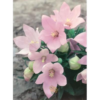 Платикодон Fuji Pink - оптом