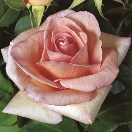 Роза штамбовая Tantau Саммер Леди (Summer Lady)  2 прививки