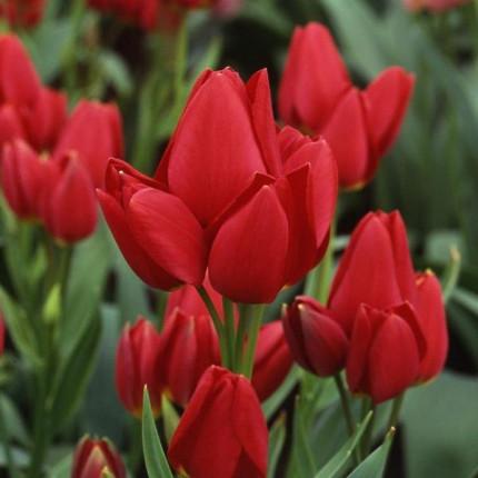 Тюльпан Многоцветковый Silhouette Bouguet 10/11