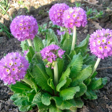 Примула denticulata Lilac