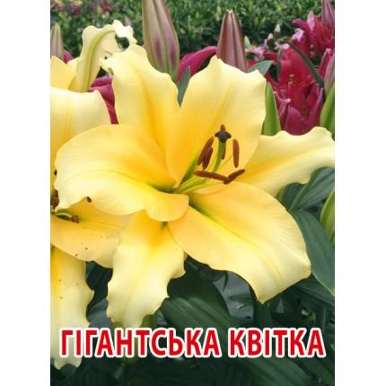 Лилия с гигантским цветком Faconnable 12/14