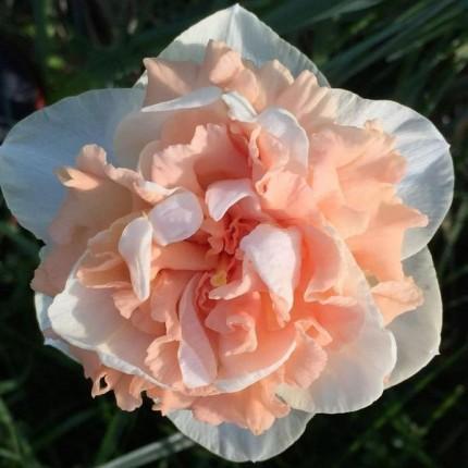 Нарцис махровий Flower Surprise 10/12 (каперс)