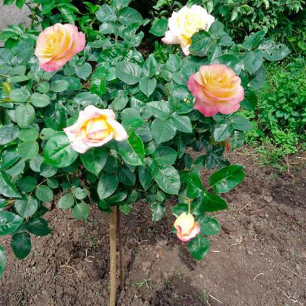 Троянда штамбова Глорія 1 прививка