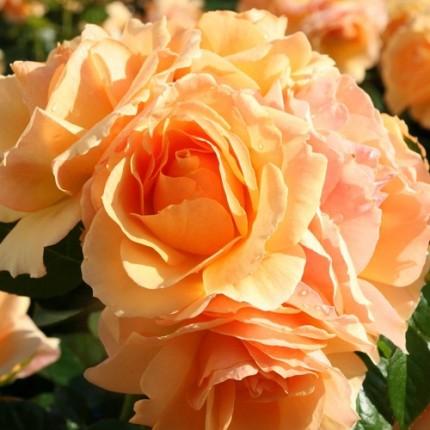 Роза штамбовая Tantau Хансесштад Росток (Hansestadt Rostok) 1 прививка