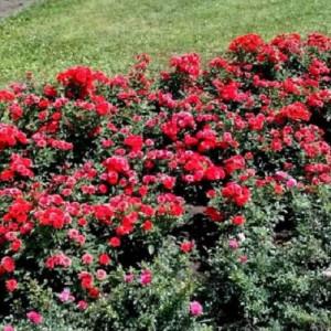 Троянди Бордюрні  в контейнері (горщик)