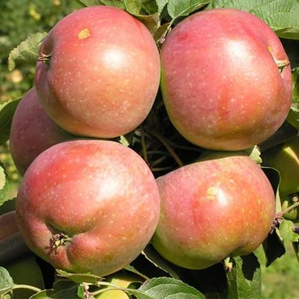 Яблуня Чемпіон 1 клас