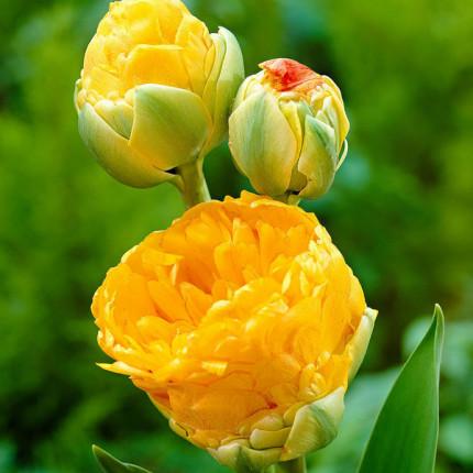 Тюльпан Махровый + Многоцветковый Double Beauty of Apeldoorn 10/11