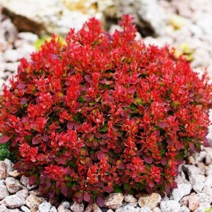Барбарис Red Jewel (контейнер 0.5 л)