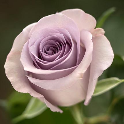 Роза флорибунда Оушен Сонг класс  А