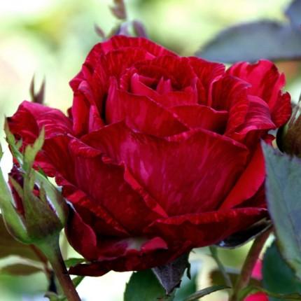 Троянда ч/г Ред Інтуішн (контейнер)