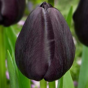 Тюльпан Триумф Black Bean 10/11
