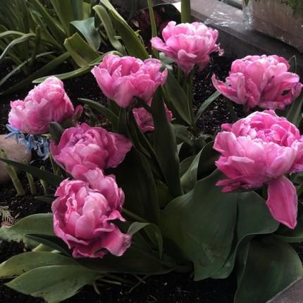 Тюльпан Махровый + Многоцветковый Sunset Tropical 10/11