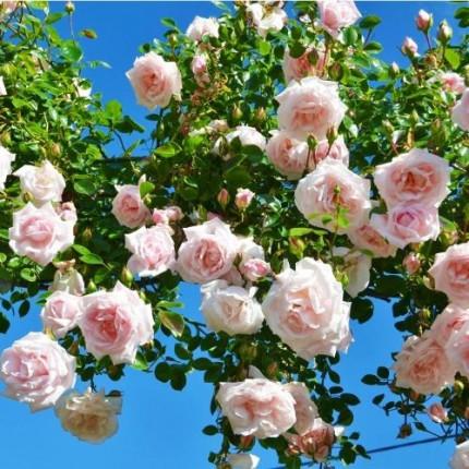 Роза штамбовая Нью Даун 2 прививки
