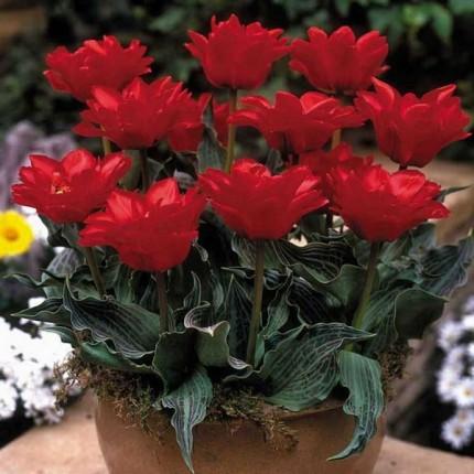 Тюльпан Грейга Double red Riding Hood 10/11