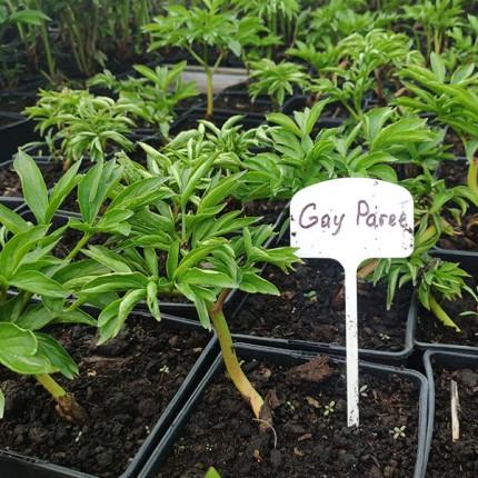 Півонія травяниста Gay Paree (контейнер 2.5л)