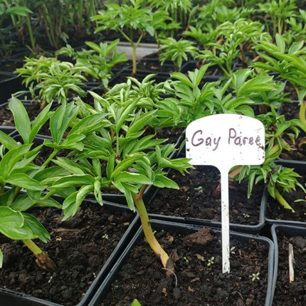 Пион травянистый Gay Paree (контейнер 2.5л)