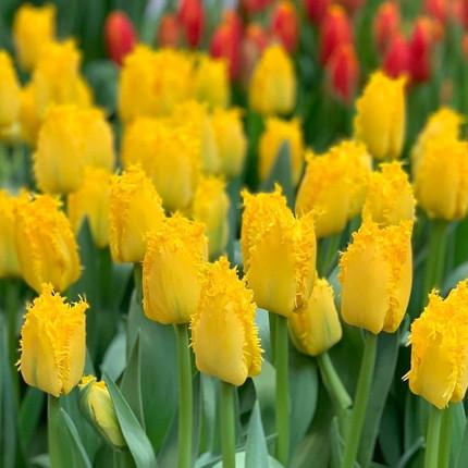 Тюльпан оторочений Yellow Valery 12+