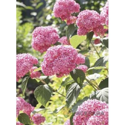 Гортензия Pink Annabel (древовидная однолетняя) - оптом