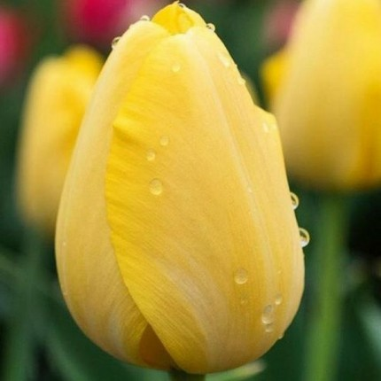 Тюльпан тріумф Strong Gold 12/+